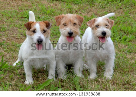 Group of funny three Jack Russell Terriers