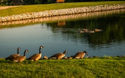 Group of geese walking toward water at sunset in early fall; another group of birds swimming in background
