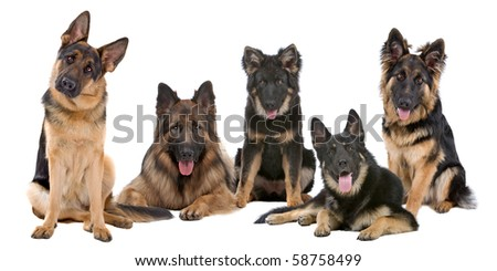 Group of German Shepherd dogs on a white background