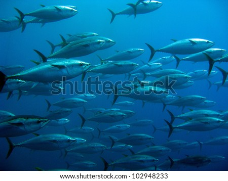 Group of giant tuna