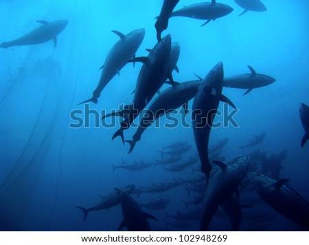 Group of giant tuna