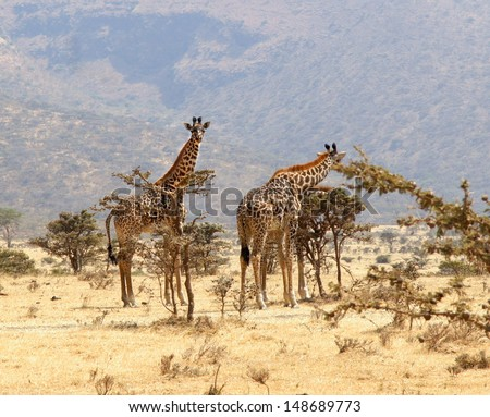 group of giraffe eating from a tree in a gorgeous landscape in Africa