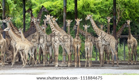Group of giraffe stand under foor in Safari wold World, popular place for relax in sunday in Thailand.