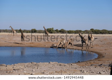 Group of giraffes at a waterhole in Namibian desert, with some drinking and some looking out for predators