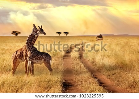 Group of giraffes in a National Park. Sunlight landscape.