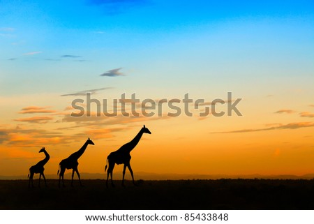 Group of giraffes over sunset - stock photo