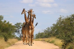 Group of Giraffes walking down a dirt road in Kruger national park.