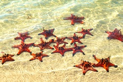 Group of Glittering Starfish on sandy beach in a beautiful sunny day. The starfishes are sunbathing on the beach sand in front of the ocean.