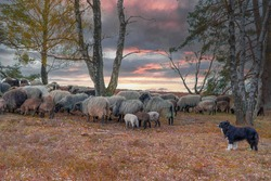 Group of goats and a dog on grassy landscape.Sunset.Countryside.