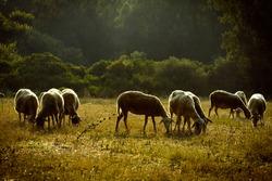 group of goats in an greek landscape