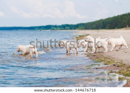 group of golden retriever puppies on the beach