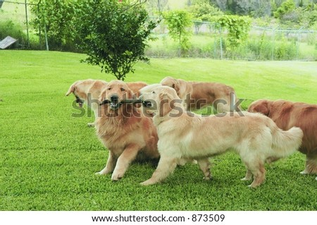 Group of golden retrievers playing