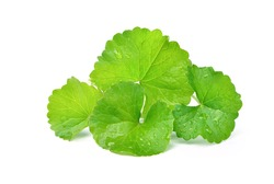 Group of Gotu kola (Centella asiatica) leaves with water drops  isolated on white background. (Asiatic pennywort, Indian pennywort)