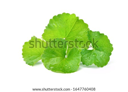 Group of Gotu kola (Centella asiatica) leaves with water drops  isolated on white background. (Asiatic pennywort, Indian pennywort) Zdjęcia stock ©