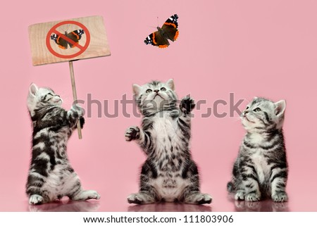 group of  gray beautiful  kitten, breed scottish-straight, look up and  play with butterfly on pink  background