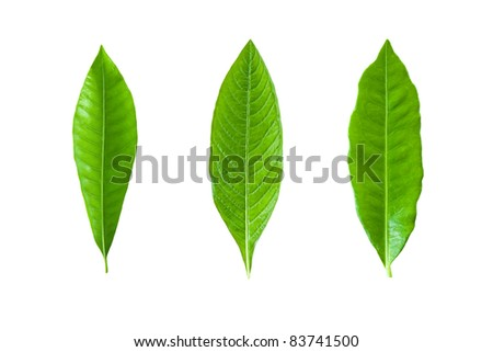 group of green leaf. Isolated on white background - stock photo