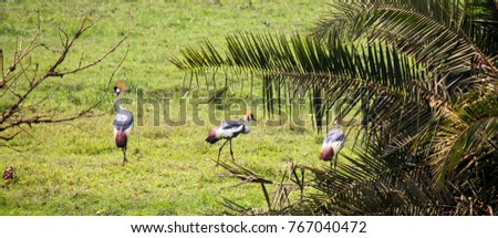 Shutterstock Group of Grey Crowned Cranes - Scientific name: Balearica regulorum on a green pasture in Uganda. This bird species is the National Symbol.jpg