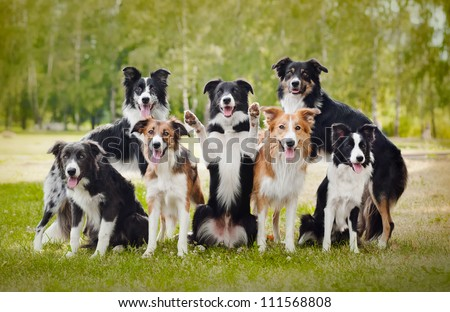 group of happy dogs border collies on the grass in summer