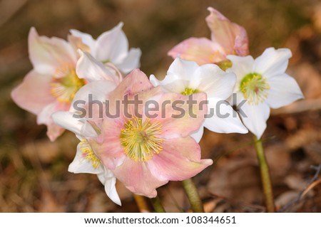 Group of Hellebore (Helleborus niger) or Christmas Rose  flowers in their natural habitat, shallow DOF - stock photo