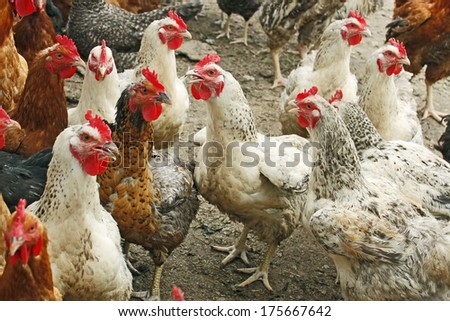 Group of hens and roosters on the poultry yard