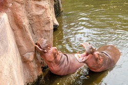 Group of hippo or hippopotamus in water at the zoo
