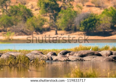 Group of hippopotamus in the mud, Chobe National Park