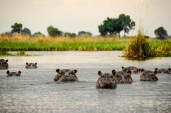 Group of hippos emerge from the water of the swamp