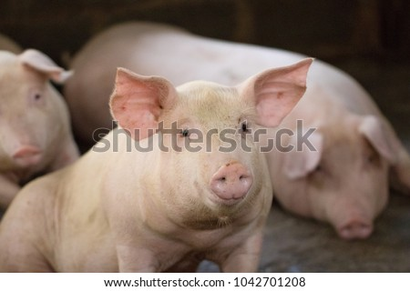 Group of hog waiting feed. Pig indoor on a farm yard in Thailand. swine in the stall. Close up eyes and blur. Portrait animal. #1042701208