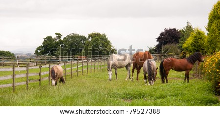Group of horses grazing contentedly in paddock in english countryside. #79527388