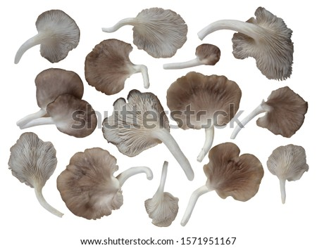 Group of Indian Oyster Mushrooms shape like a fan isolated on white background. Color mixed between white and brown. The taste similar to meat. Rich in vitamin B, dietary fiber and low in Calorie. Foto stock ©