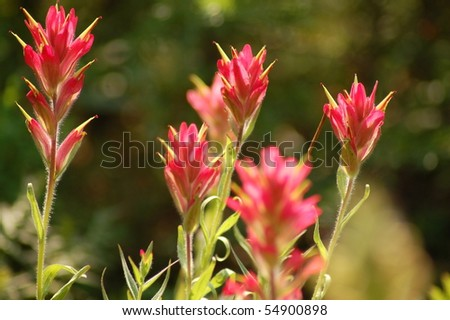 Group of Indian Paintbrush in a Meadow
