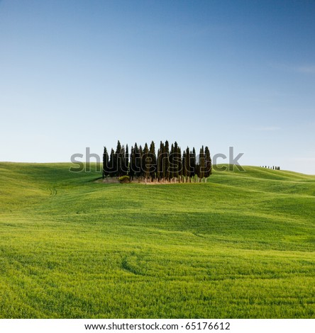 Group of italian cypresses near San Quirico d´Orcia, Tuscany, Italy
