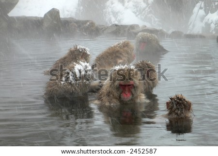 group of Japanese Macaques in natural hot spring in winter, Nagano Japan