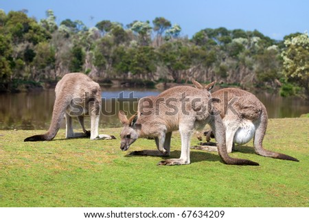 Group of kangaroos in Phillip Island Wildlife Park, Australia