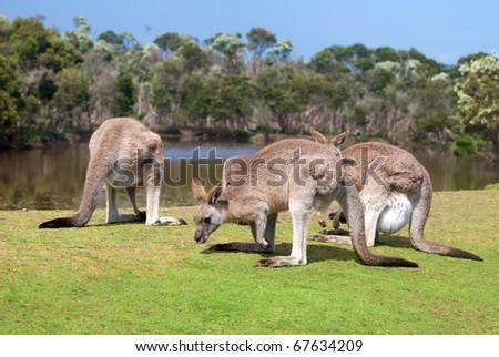 Group of kangaroos in Phillip Island Wildlife Park, Australia - stock photo