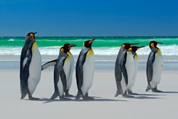 Group of King penguins, Aptenodytes patagonicus, going from white sand in to the sea, animals in the nature habitat with dark blue sky, Falkland Islands.