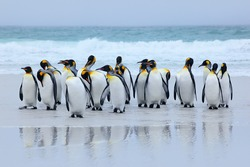 Group of king penguins coming back together from sea to beach with wave in background, Volunteer Point, Falkland Islands. Wildlife scene from nature. Animals from Antarctica.