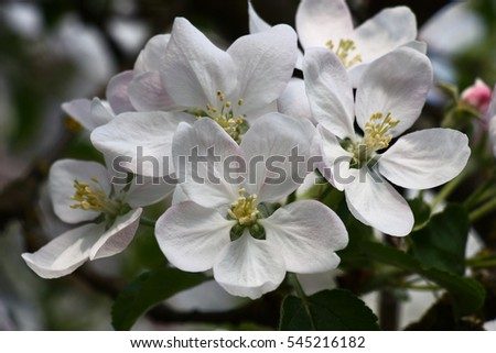 Group of large flowers of an apple tree with a pink pattern on white group of large flowers of an apple tree with a pink pattern on white petals mightylinksfo