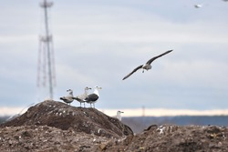 Group of large gulls (great black-backed gull, herring gull) pearching on the top of a pile in a rubbish dump