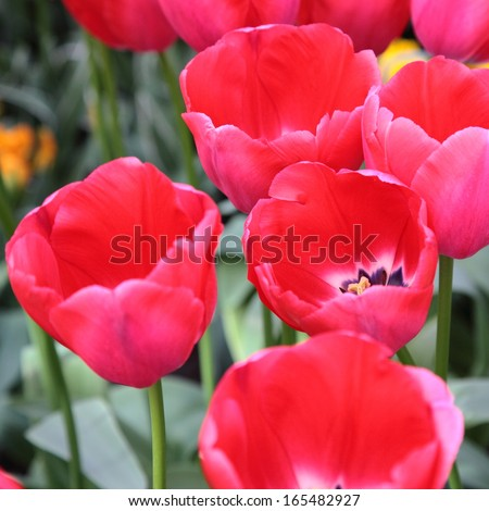 Group of large red tulips
