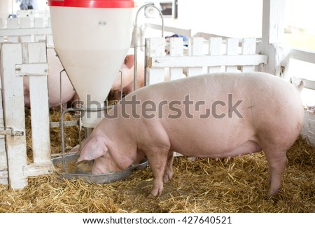Group of large white swine (Yorkshire pigs) feeding from plastic hog feeder on ranch