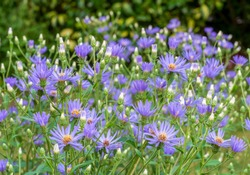 Group of lavender blue with yellow centre flowers of Michelmas daisy, Eurybia x herveyi '˜Twilight' (Aster macrophyllus 'Twilight').