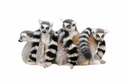 Group of  lemur katta (Lemur catta) on white background