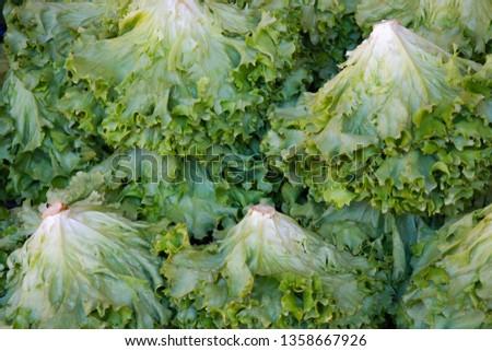 Group of Lettuces. Romaine Lettuce. Curly Lettuce Background. #1358667926