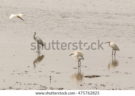 Group of Little egret aquatic heron birds walking on tropical coastal swamp mangrove during sunset in Thailand, Asia