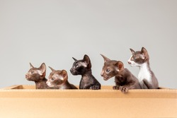Group of little kittens of oriental cat breed with big ears of brown and black color sitting together in carton delivery box and meowing