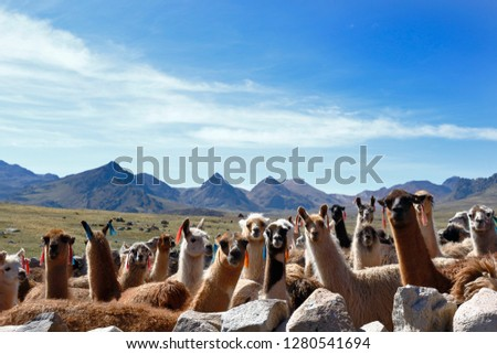 Group of llamas (Lama glama) grouped in a pen before leaving to graze in the heights of Huancavelica.