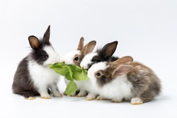 Group of Lovely bunny easter brown rabbits eating green vegetable on white background. Cute fluffy rabbits on white background. Lovely mammal with beautiful bright eyes in nature life. Animal concept.