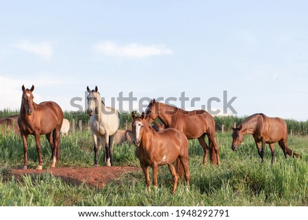 Group of Mangalarga Marchador horses and mares loose in the green pasture. Mares and foals on the farm loose. Сток-фото ©