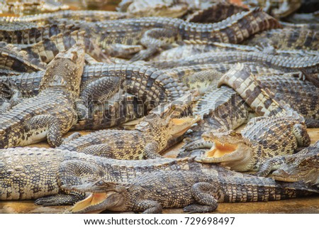 Group of many crocodiles are basking in the concrete pond. Crocodile farming for breeding and raising of crocodilians in order to produce crocodile and alligator meat, leather, and other goods.  #729698497